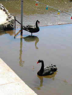 Dawlish - Black Swans